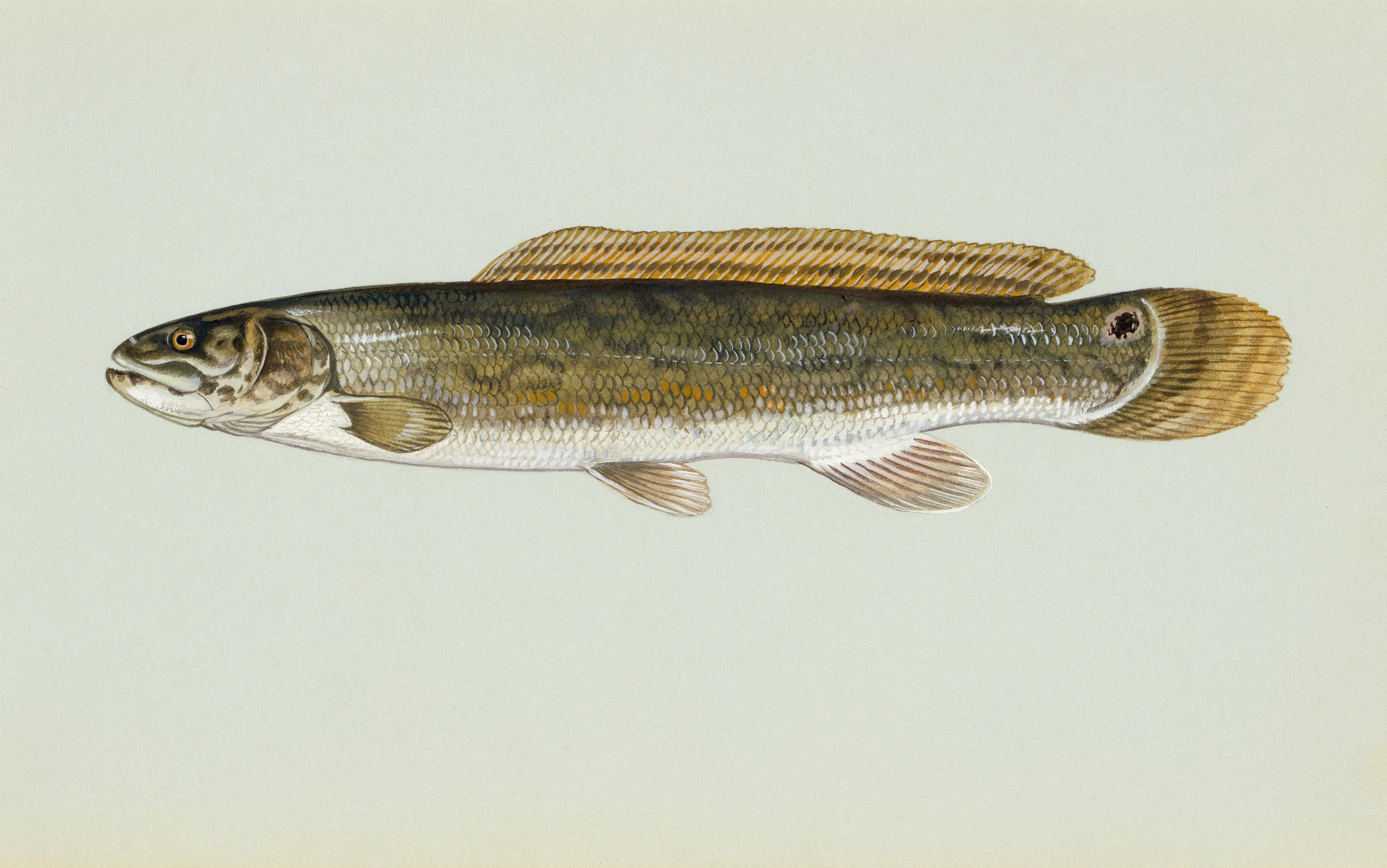 File bowfin fish wikimedia commons for Image of fish