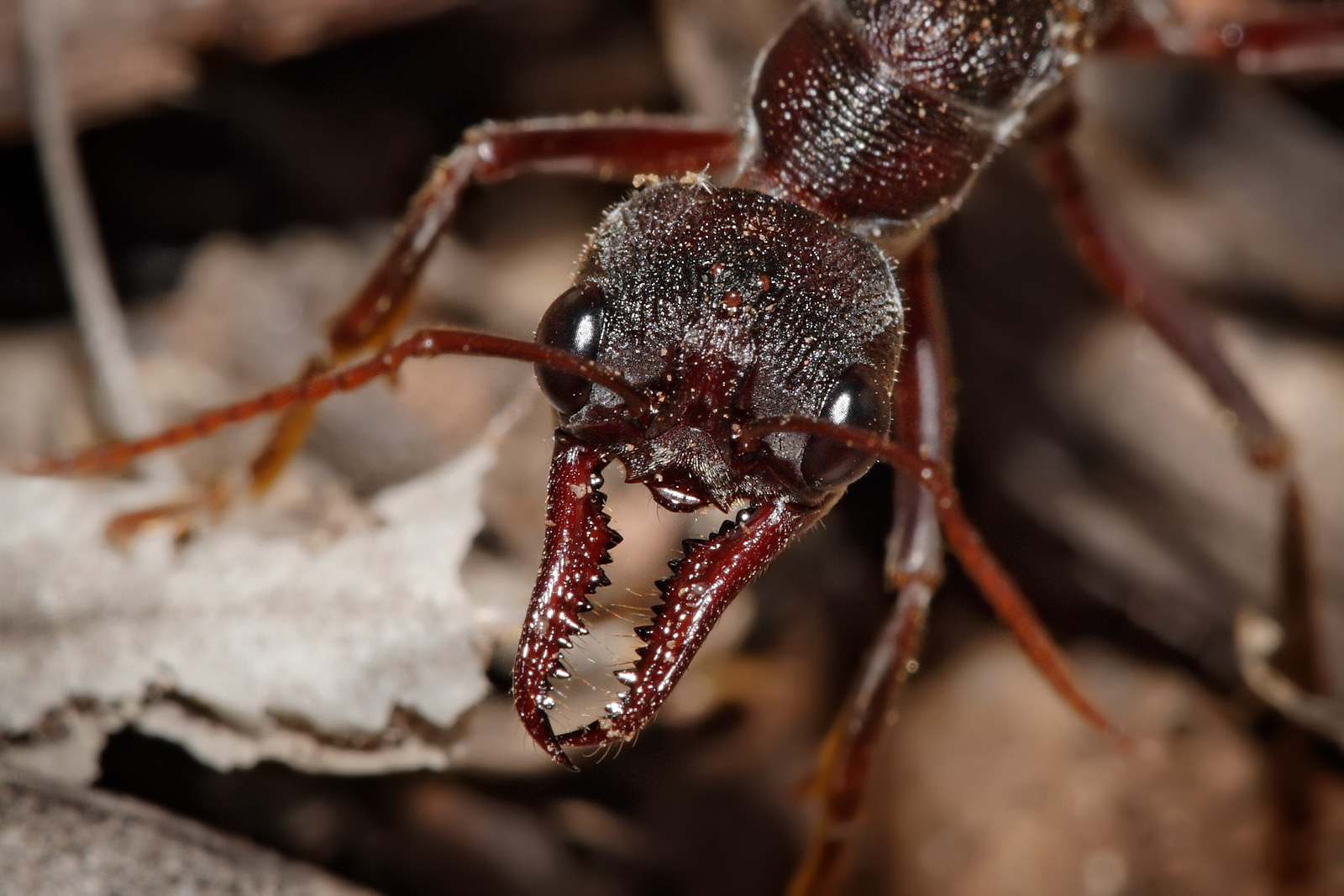 Close-up of a bull ant, found in bushland surrounding Swifts Creek, Victoria (click to embiggen)
