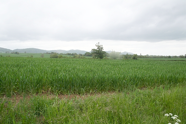 File:Cereal Crop, Berrow - geograph.org.uk - 431341.jpg