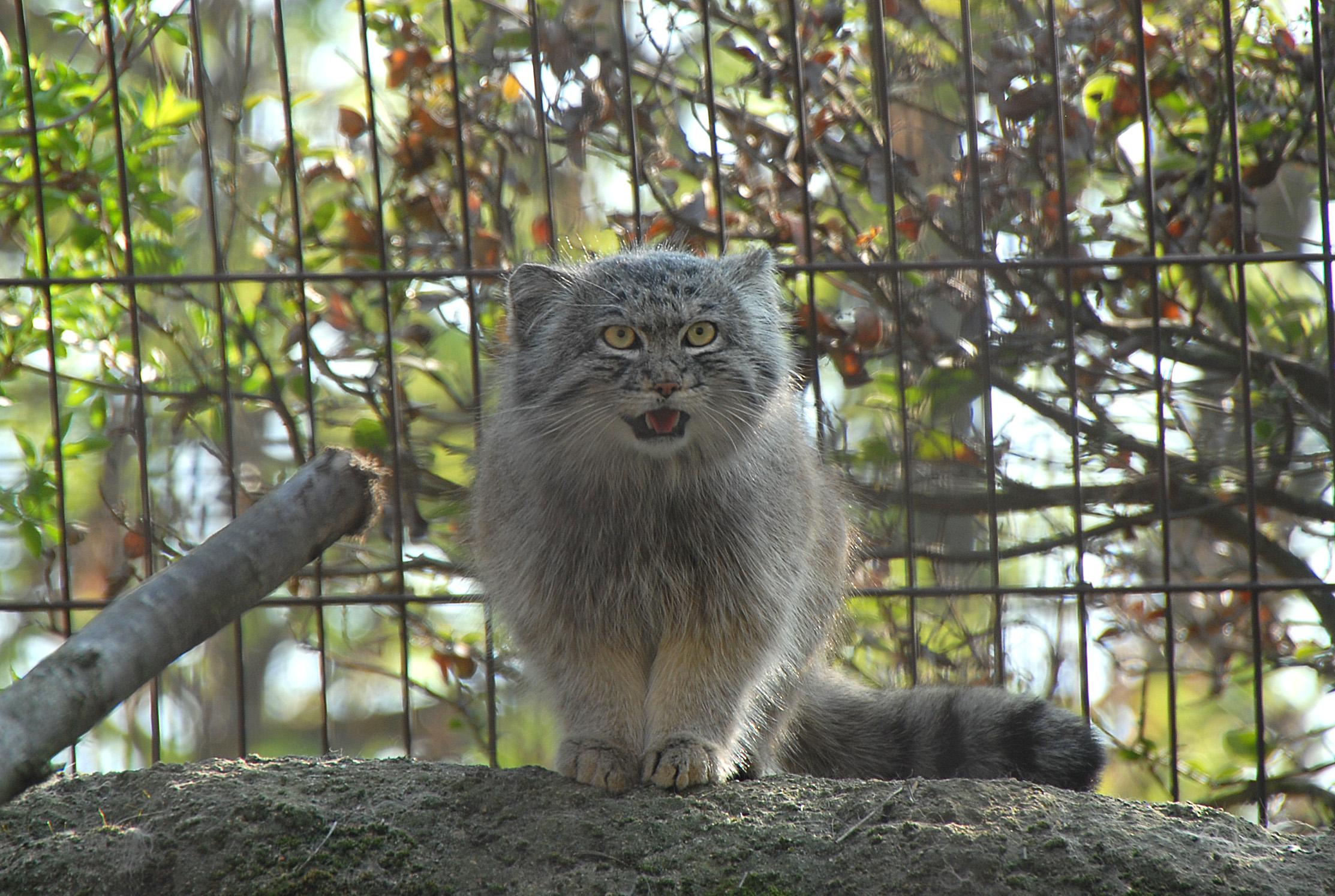 File chat de pallas m nagerie du jardin des plantes jpg for Jardin animaux paris