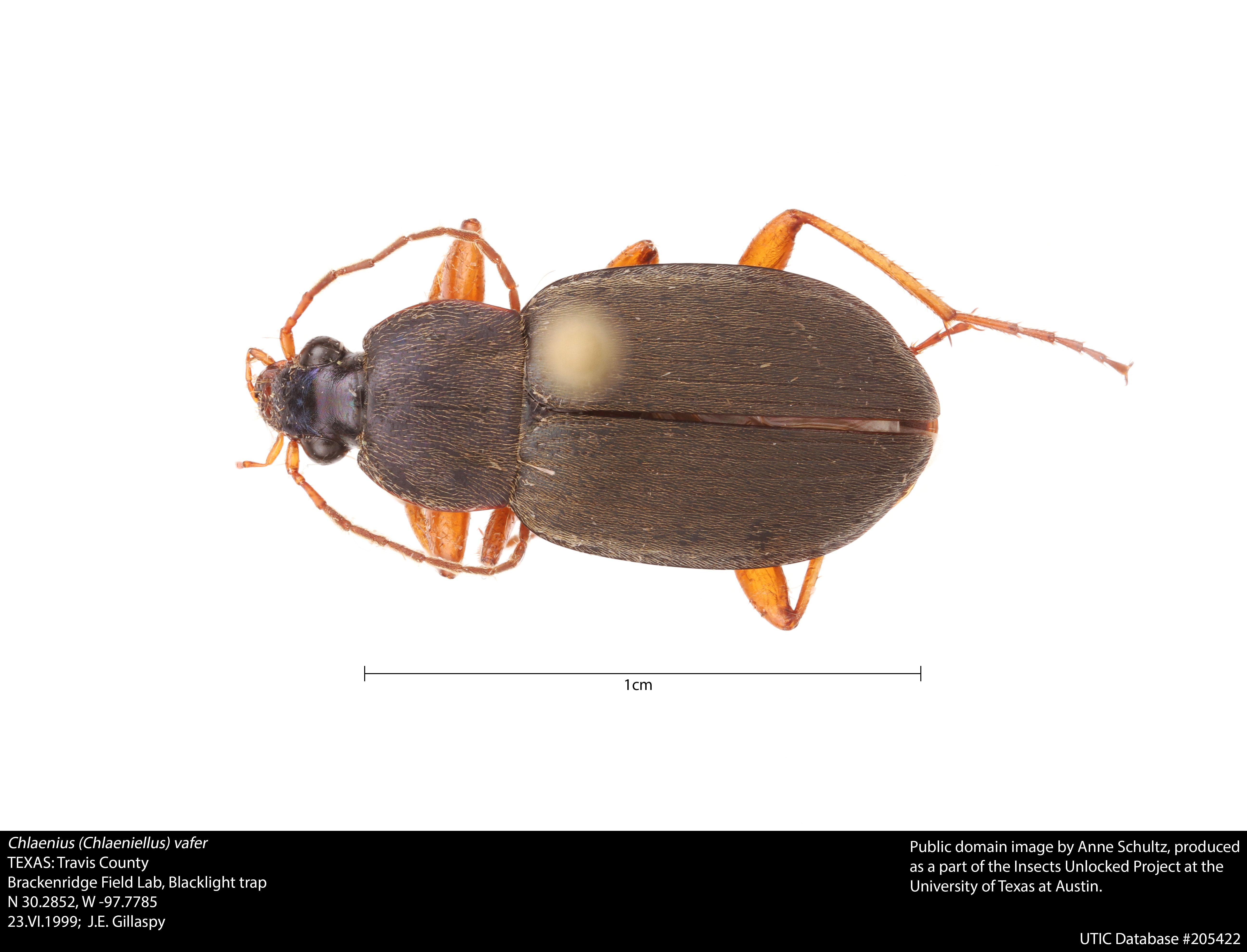 Chlaenius vafer - Wikipedia