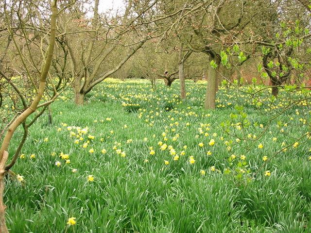 Daffodils at Biddick Hall - geograph.org.uk - 236926