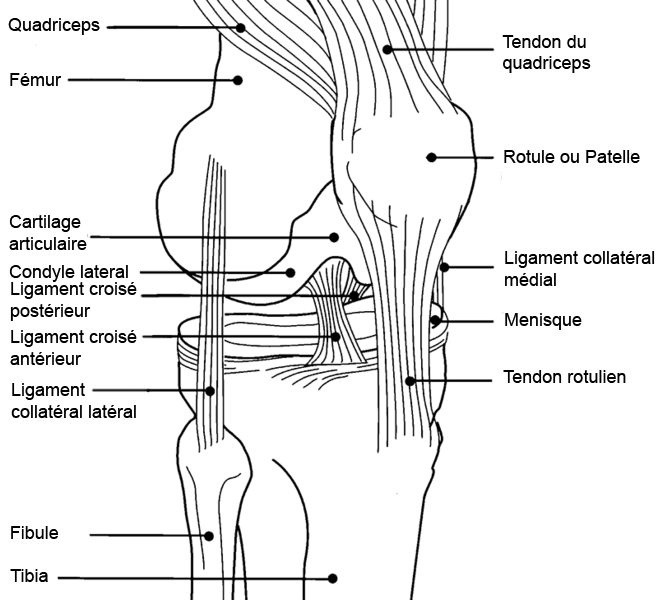 File:Diagramme genou.png - Wikimedia Commons