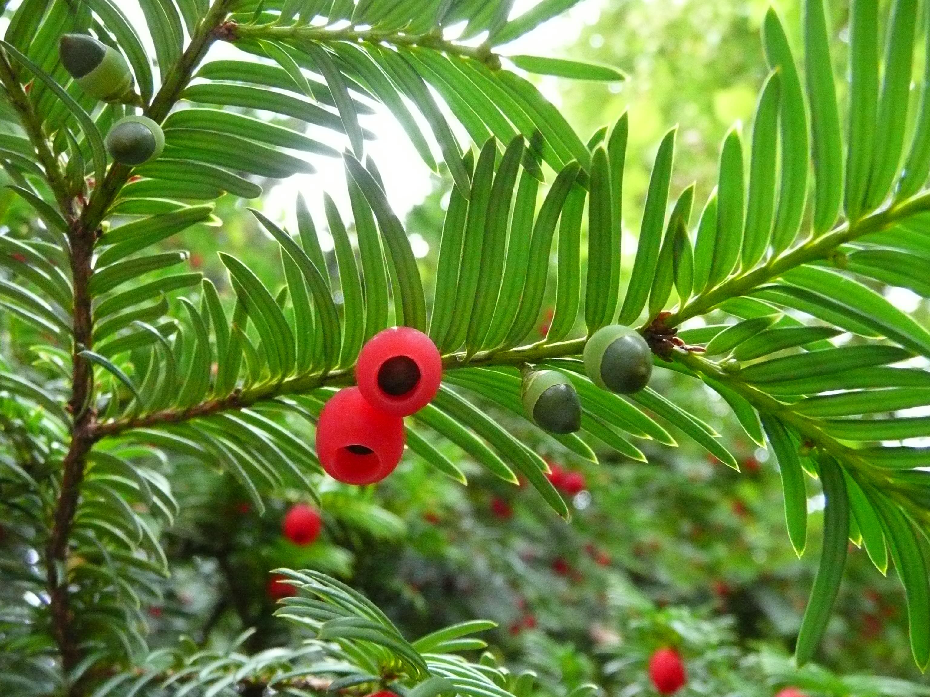 Deutsch: Eibe (Taxus baccata var. dovastoniana?)