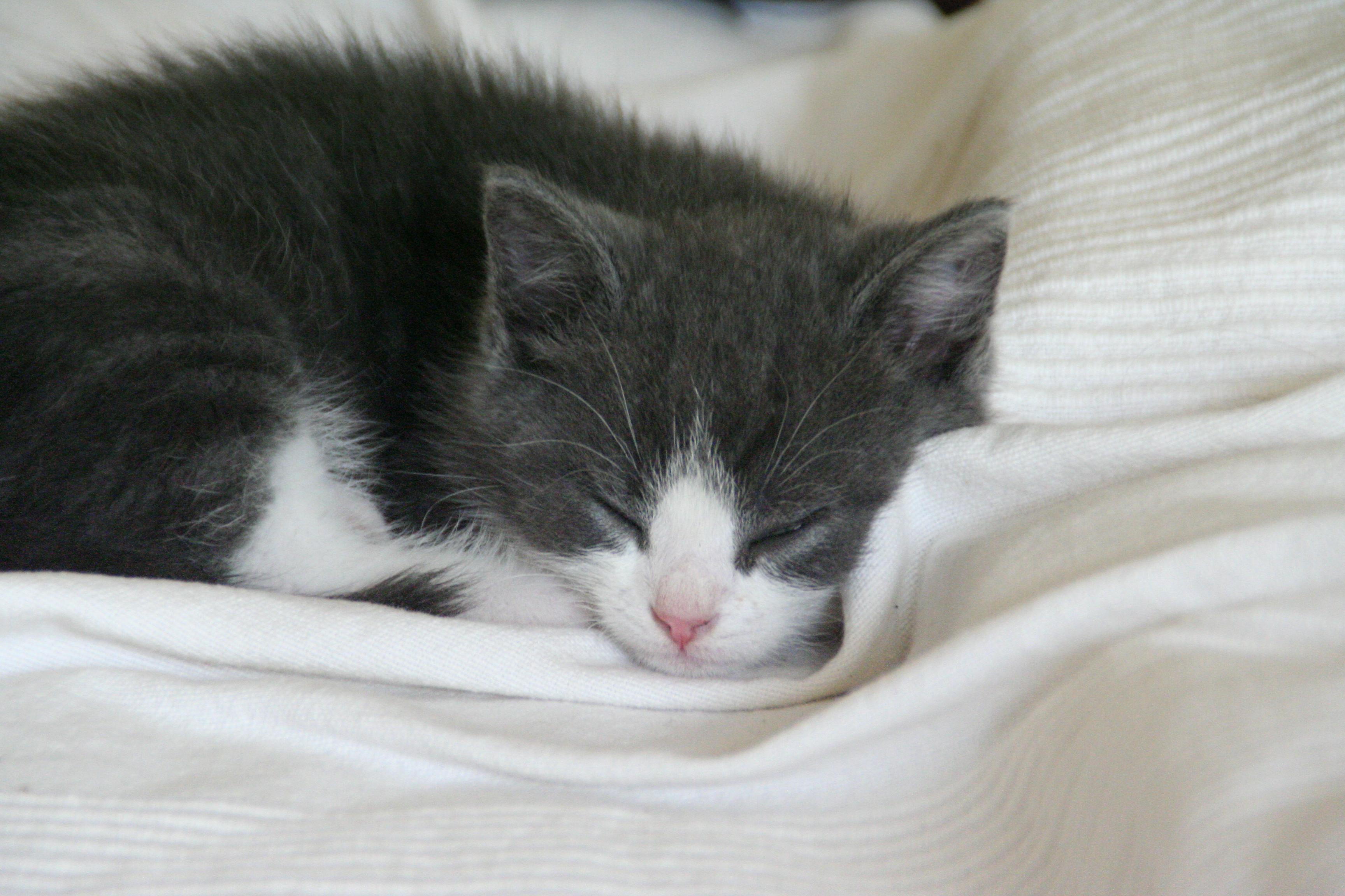 Sleeping Siamese kittens photo and wallpaper. Beautiful Sleeping ...