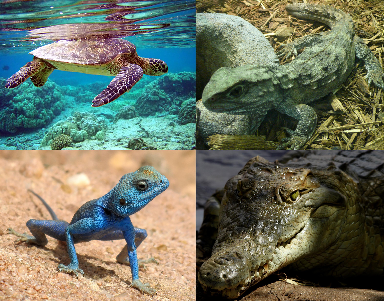 Reptile - Wikipedia