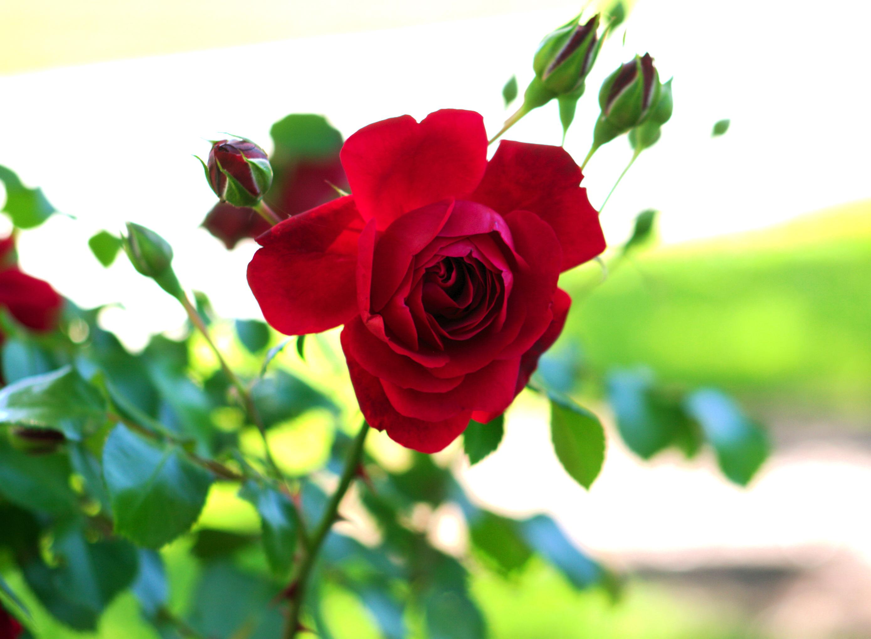 קובץ flower rose 045