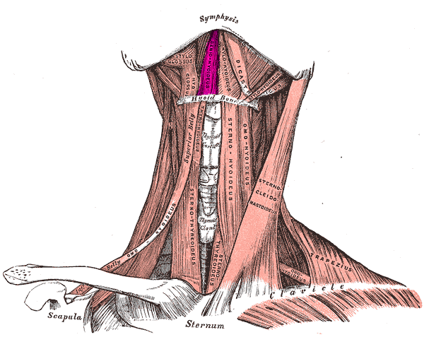 Geniohyoid muscle - Wikipedia