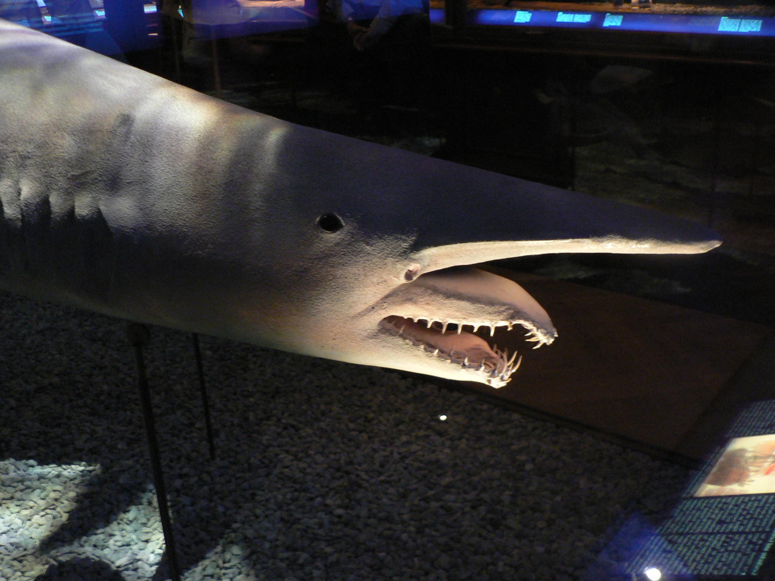 File:Goblin shark, Pengo.jpg - Wikimedia Commons