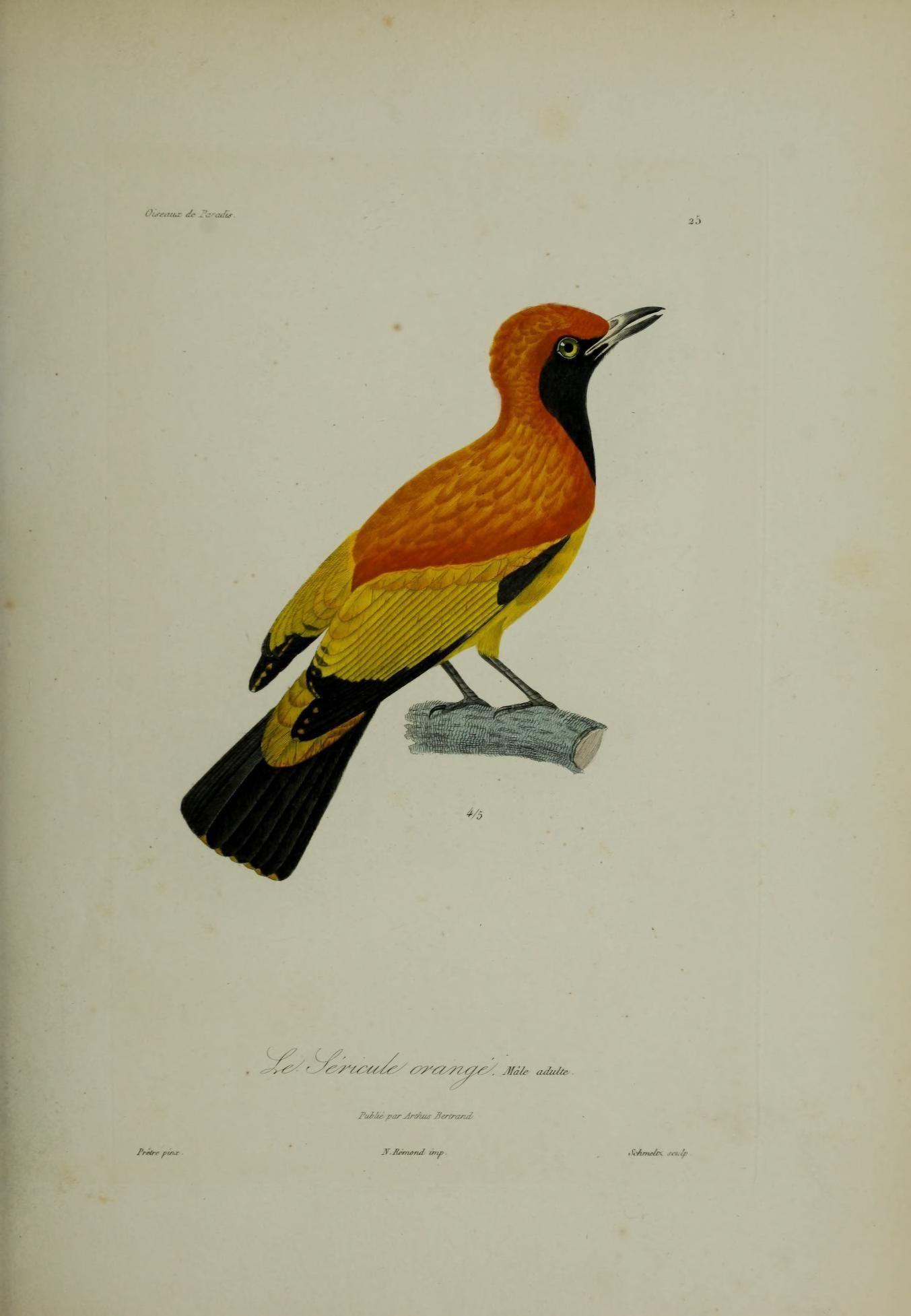 Filehistoire Naturelle Des Oiseaux De Paradis Et Des épimaques