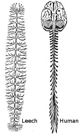File:Human-leech-nervous-system-comparison.png
