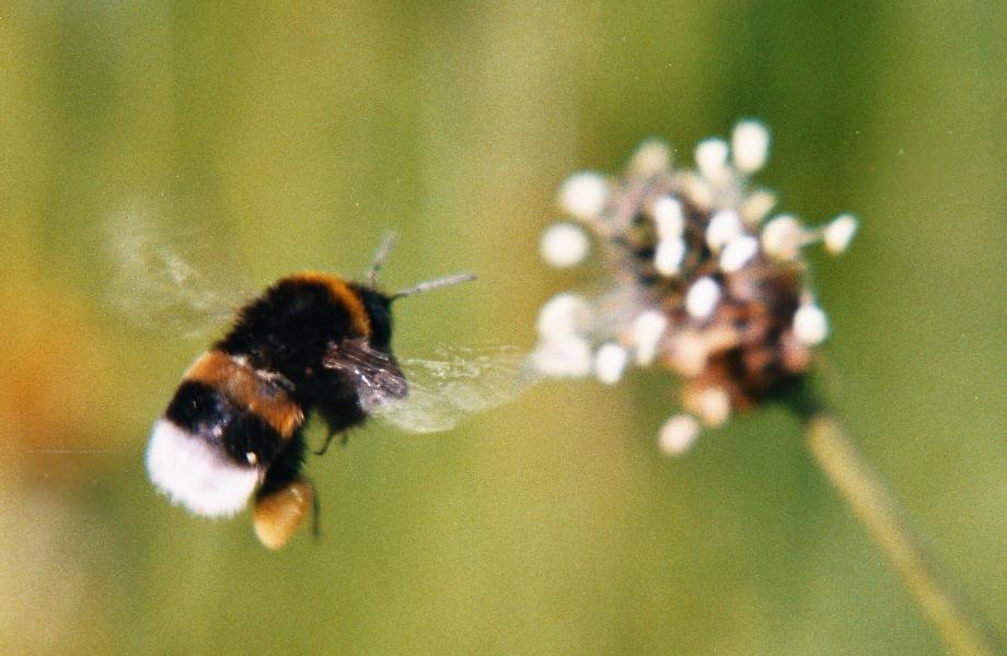 Hummel im Anflug auf eine Spitzwegerich-Blüte (Foto)