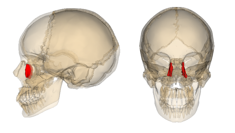 file:lacrimal bone - wikimedia commons, Human Body