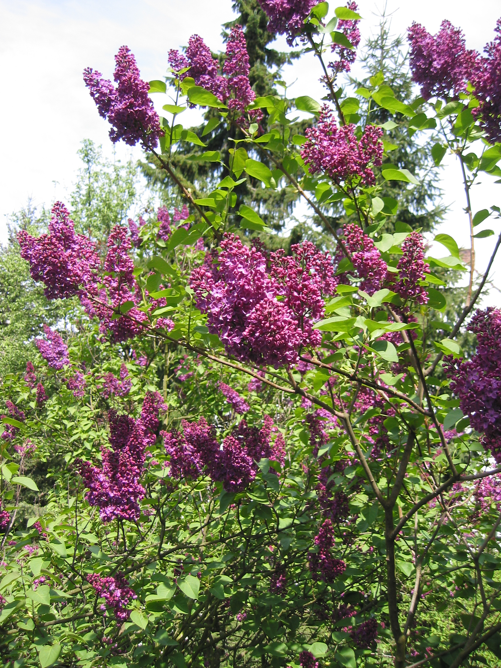 syringa vulgaris common lilac. Black Bedroom Furniture Sets. Home Design Ideas