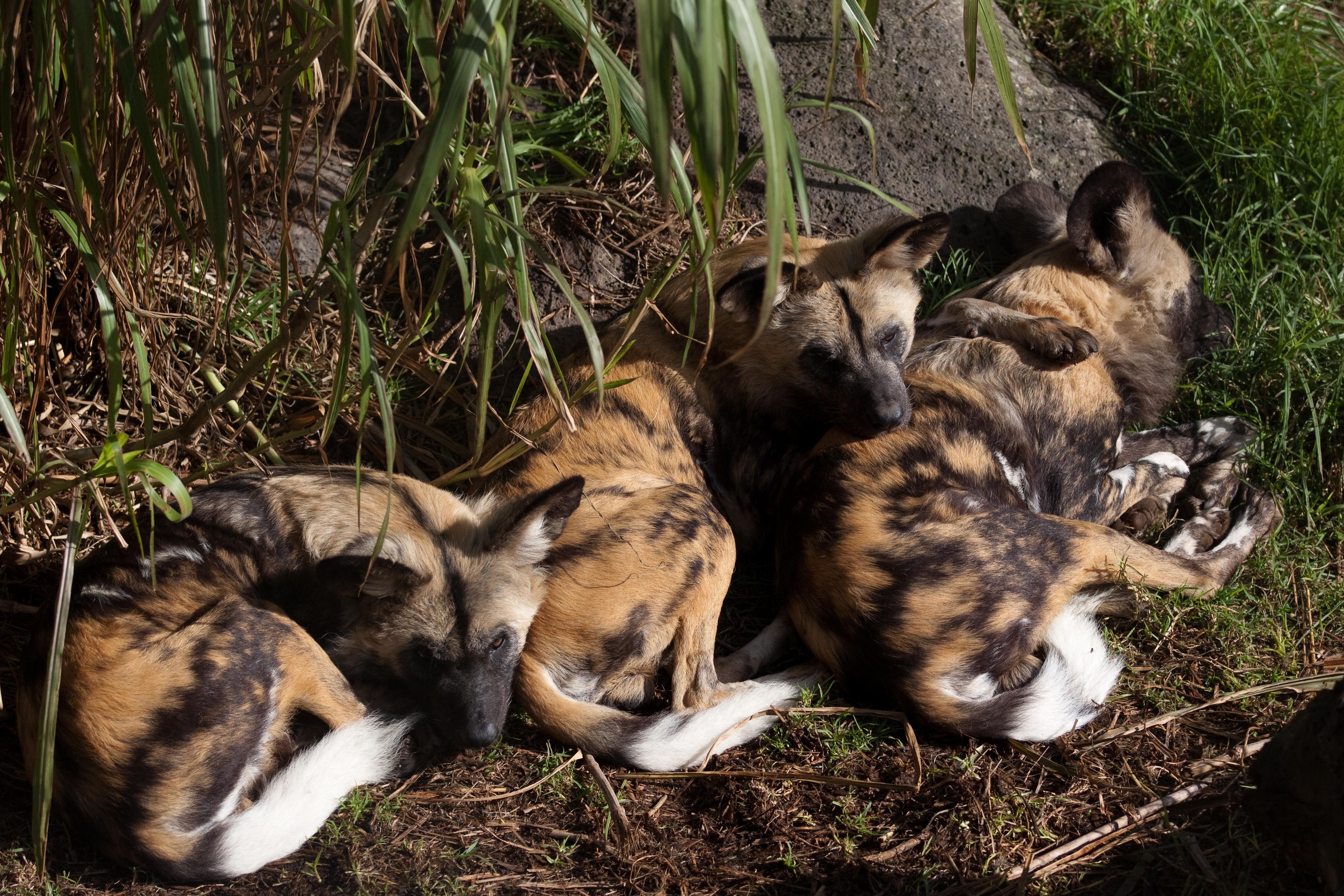 File Lycaon Pictus Melbourne Zoo Australia 8a Jpg