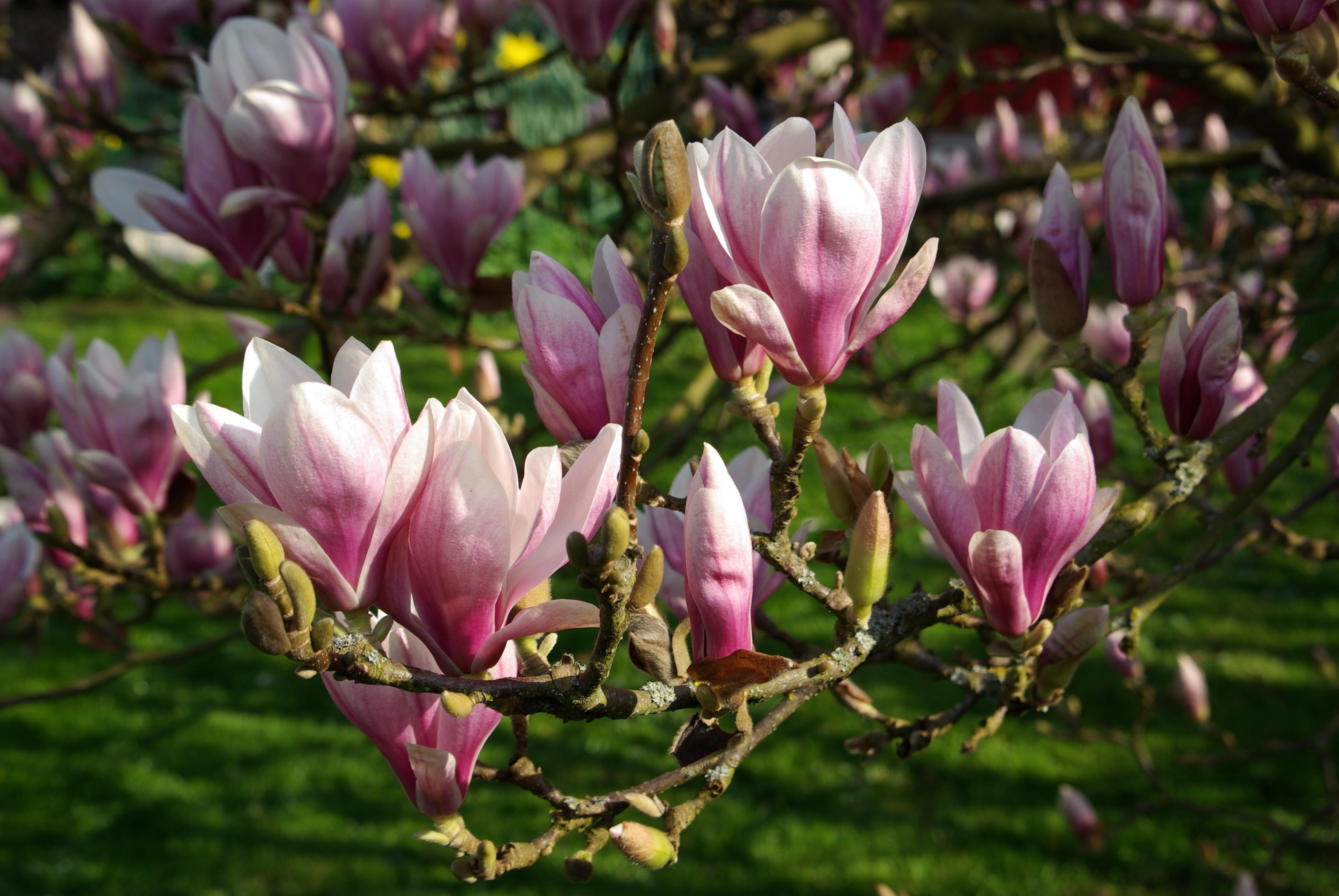 file magnolia soulangeana bw wikimedia commons. Black Bedroom Furniture Sets. Home Design Ideas