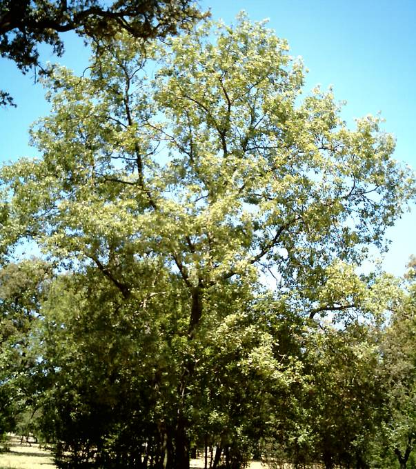 aspect général ou houppier du chêne tauzin