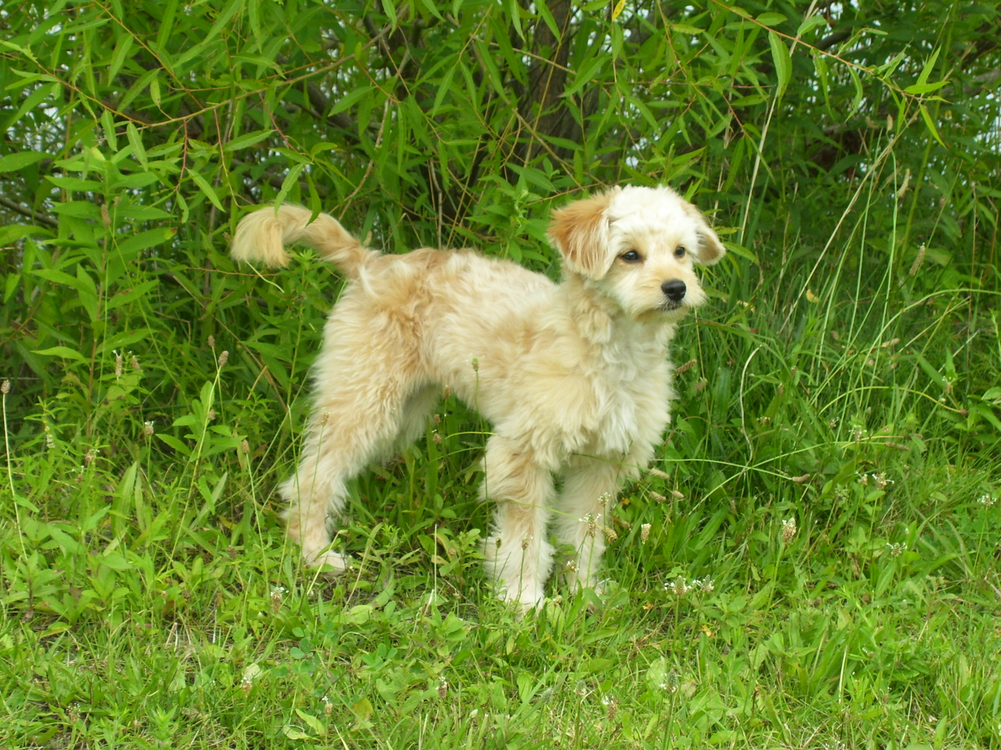 File miniature goldendoodle 5 months jpg wikipedia the free
