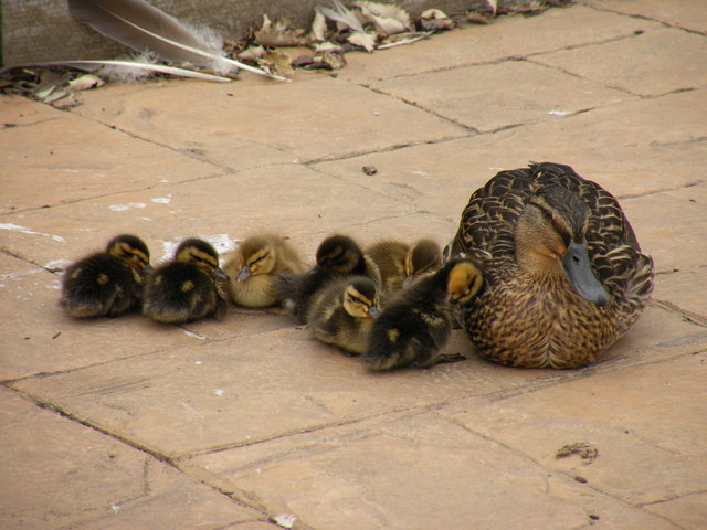 Mother and chicks - geograph.org.uk - 1375741