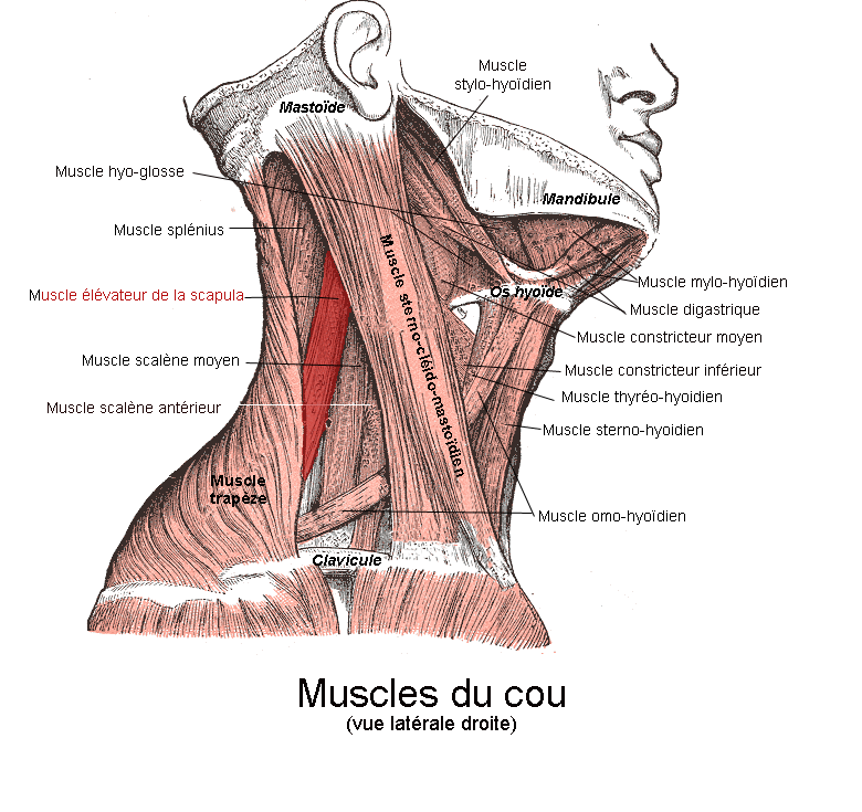 levator scapulae muscle - howlingpixel, Human Body