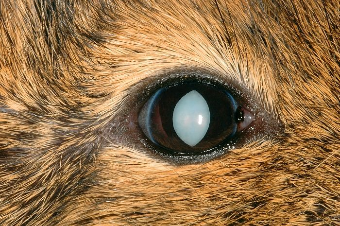dogs cataract german shepherd