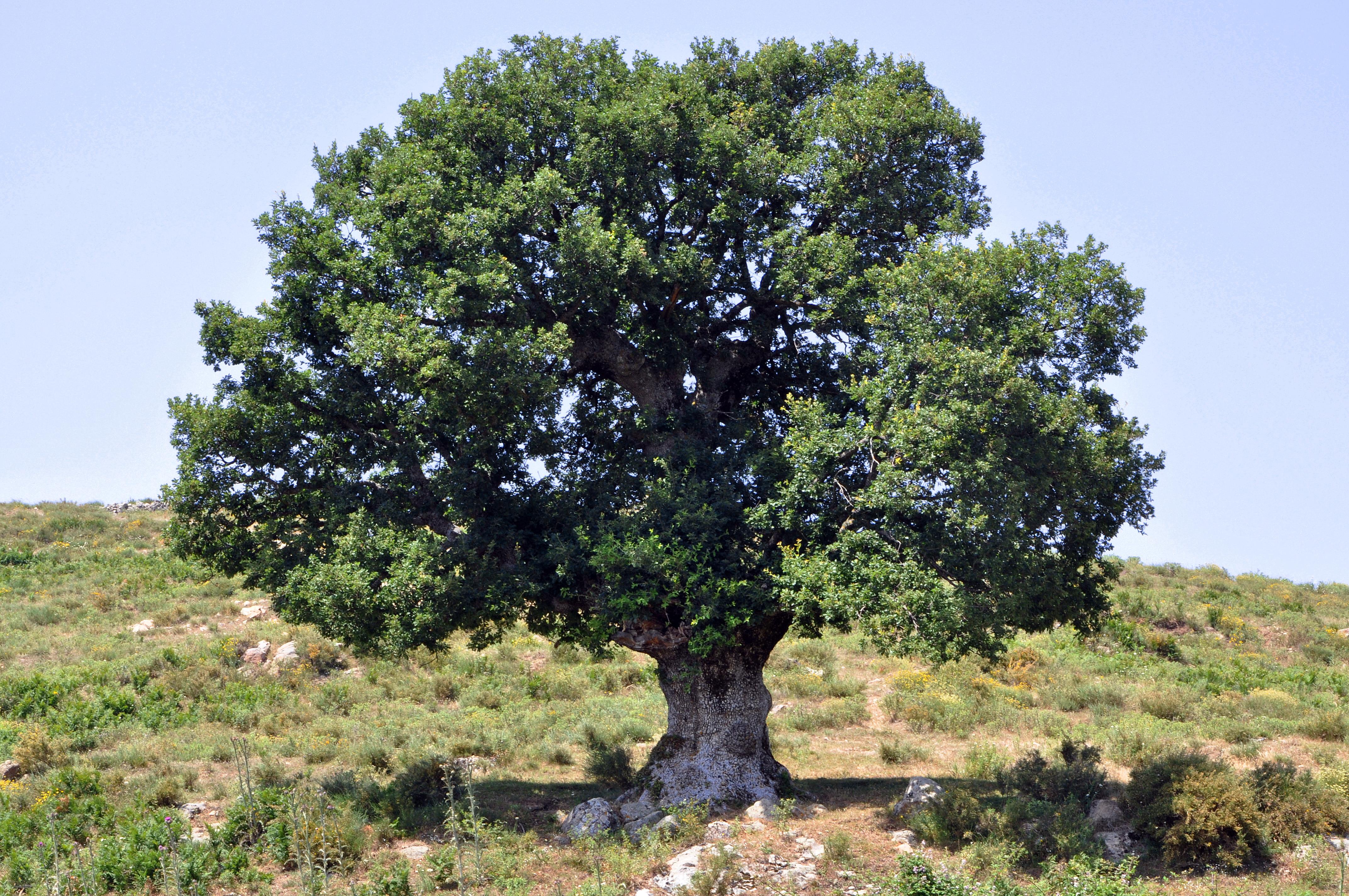 Http Commons Wikimedia Org Wiki File Oak Tree In Corsica Jpg
