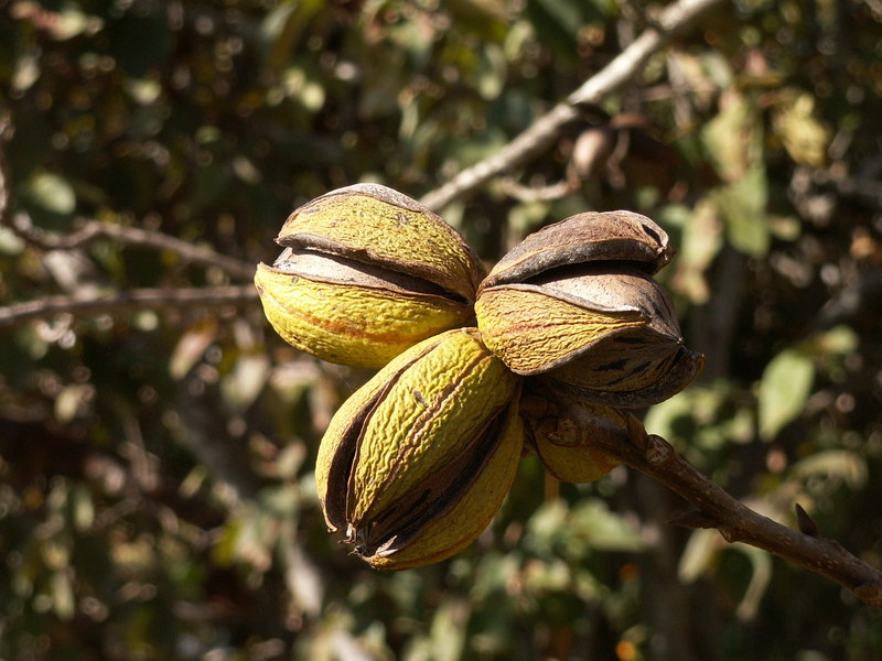 File:Pecan-nuts-on-tree.jpg - Wikimedia Commons