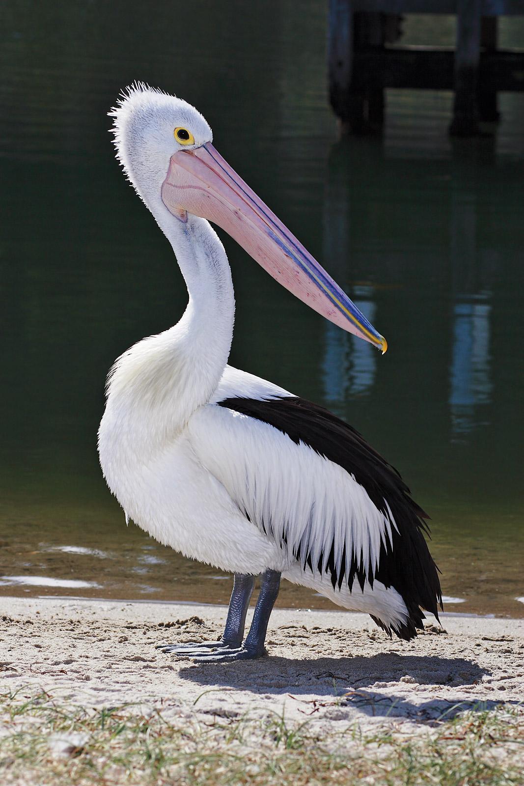 Australian pelican - Wikipedia, the free encyclopedia