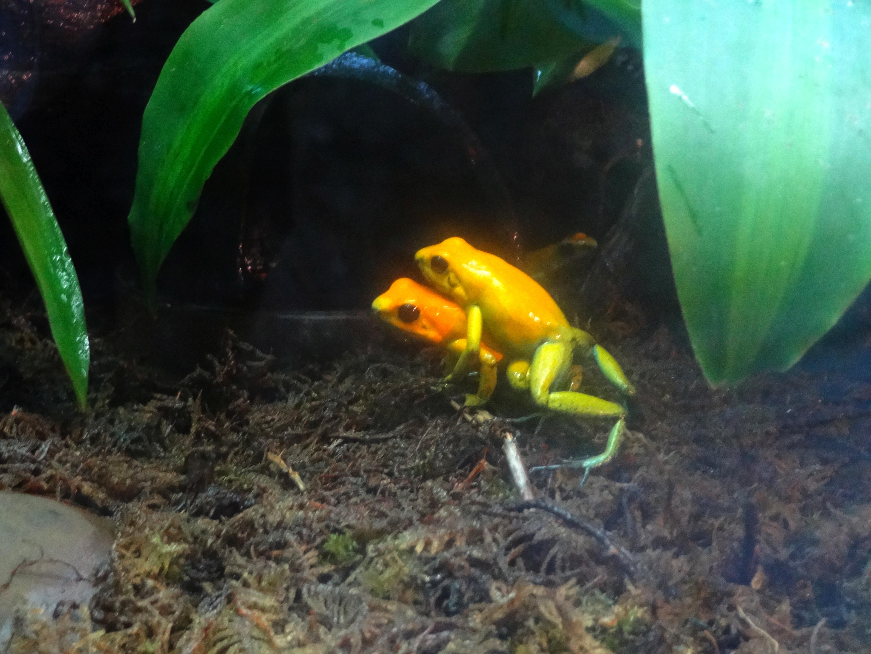 golden poison frog wikipedia
