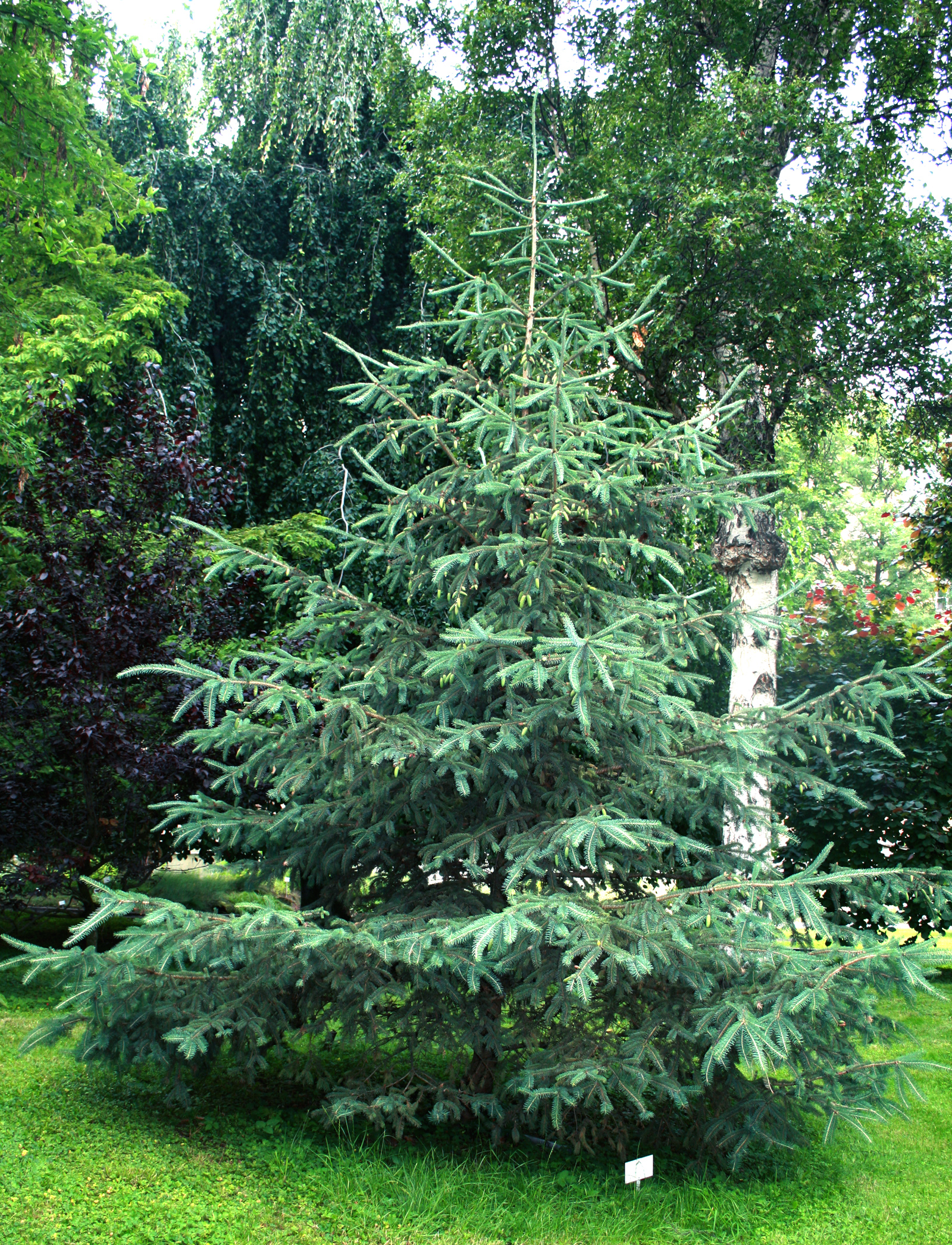 File Picea Glauca Prg 1 Jpg Wikimedia Commons