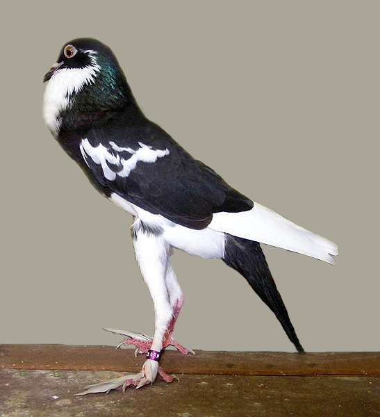 File:Pigmy pouter(black).jpg - Wikimedia Commons