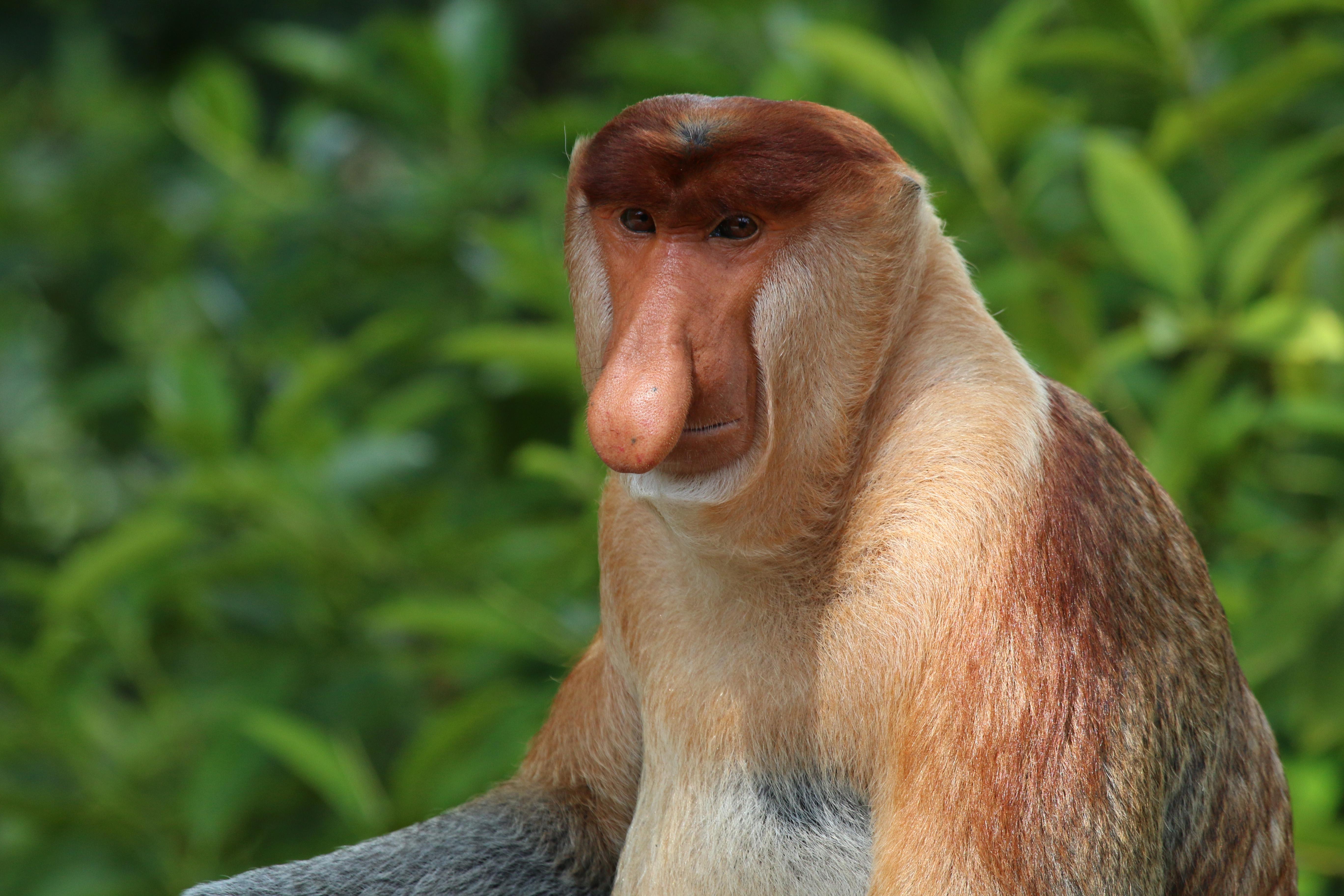 File:Proboscis monkey (Nasalis larvatus) male Labuk Bay 2.jpg - Wikimedia  Commons