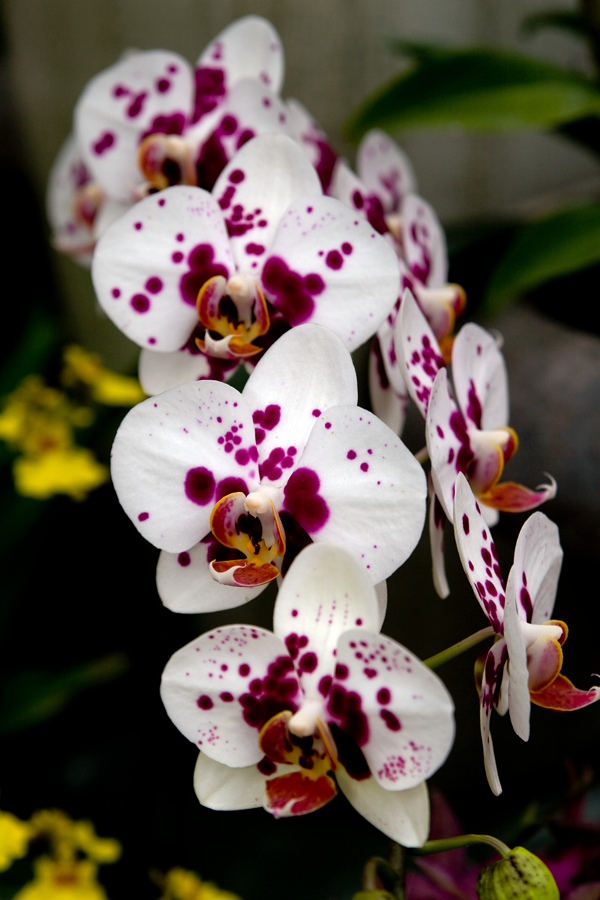 white spotted orchid flower - photo #4