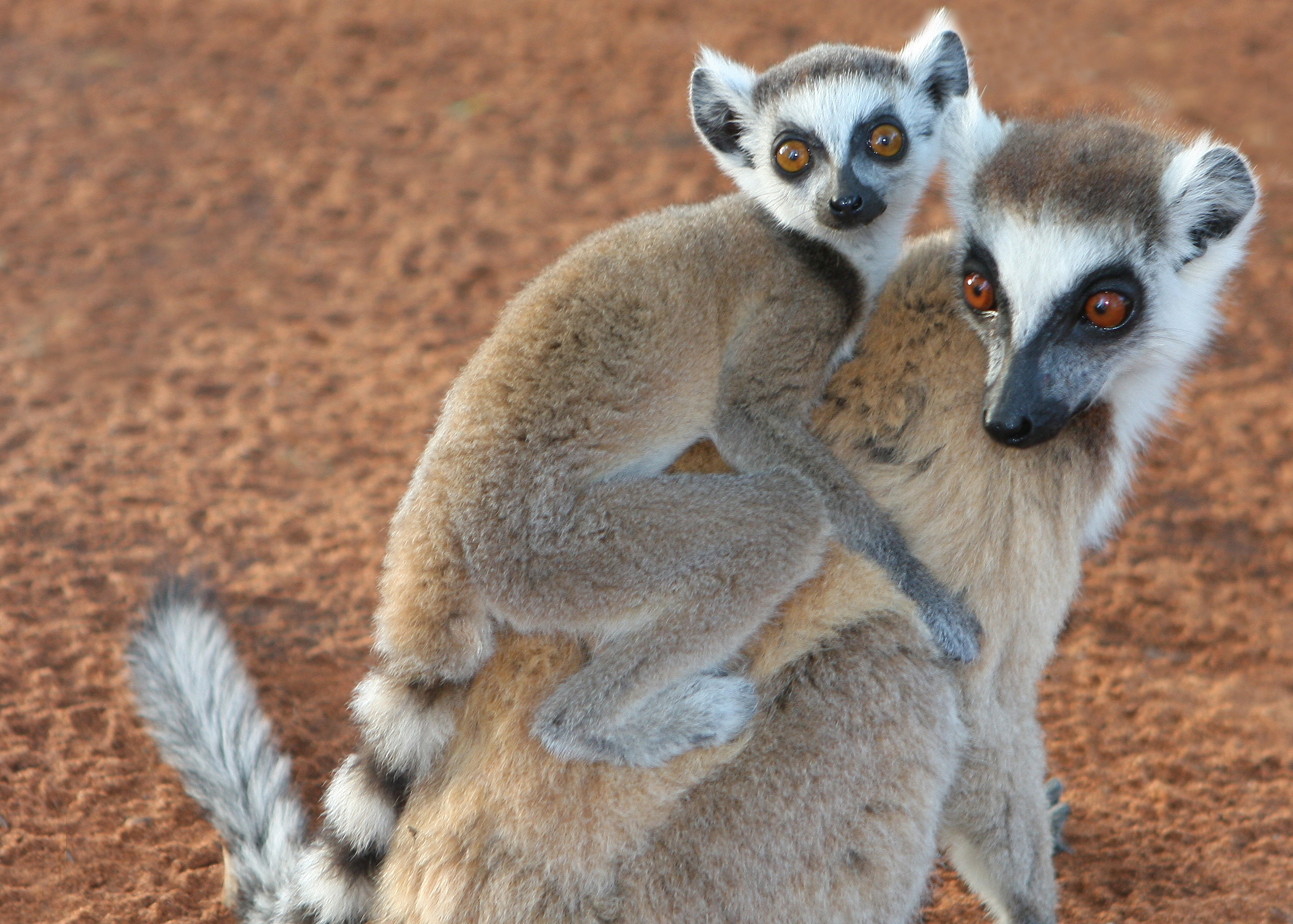 Ring Tailed Lemur Adultwiht Baby