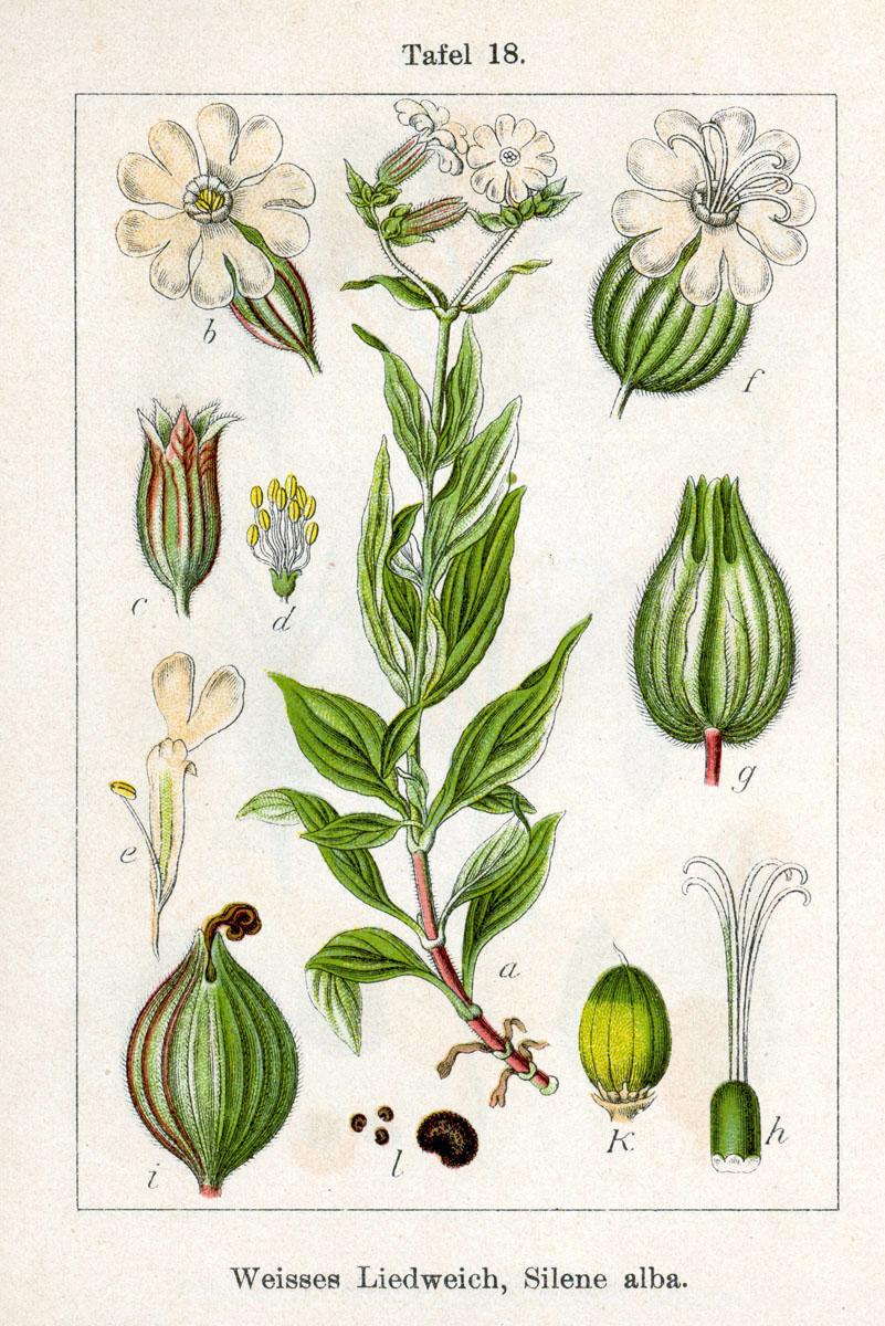 Silene latifolia — Wikipédia