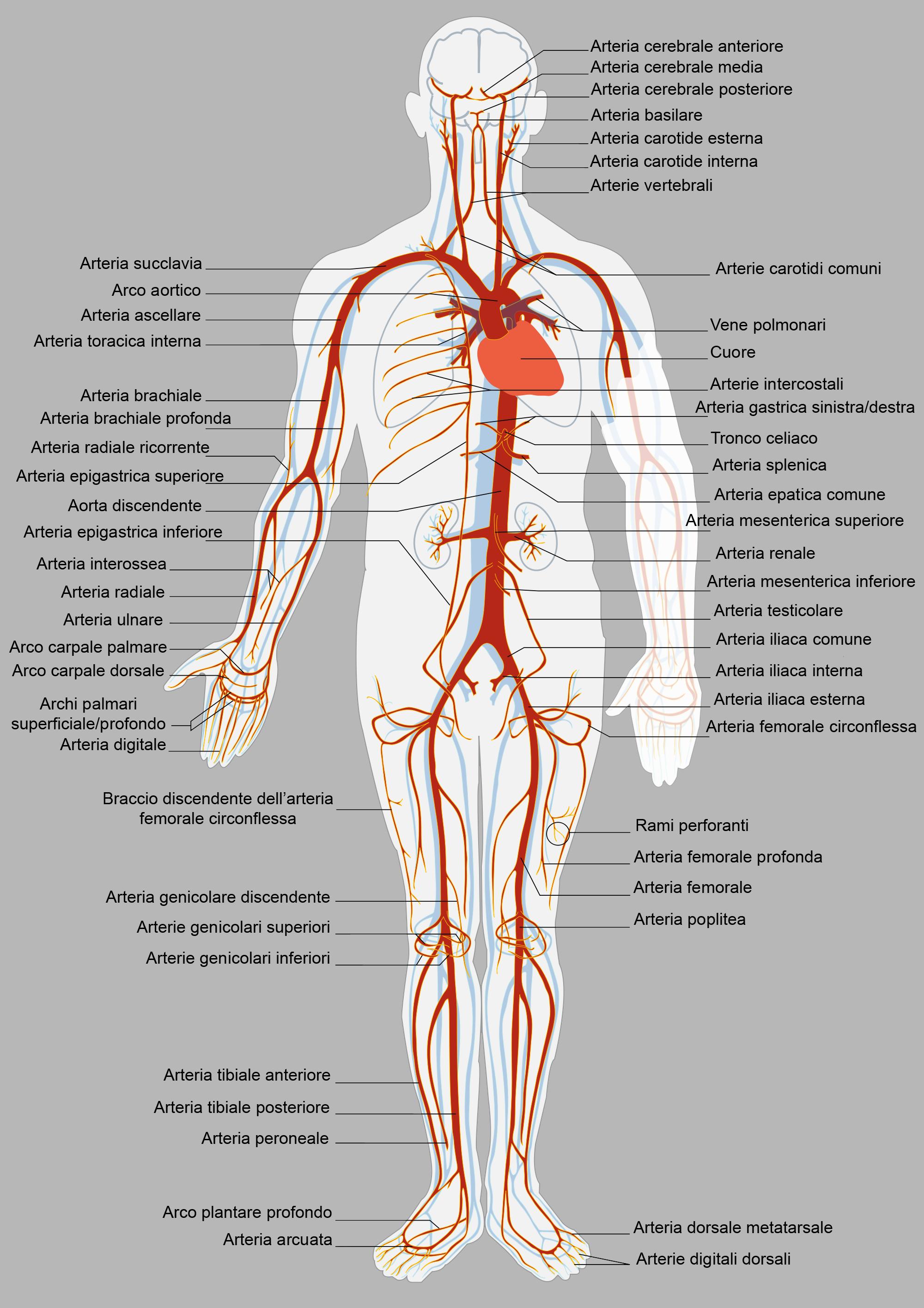 Lo schema di ricevimento di un venarus a varicosity