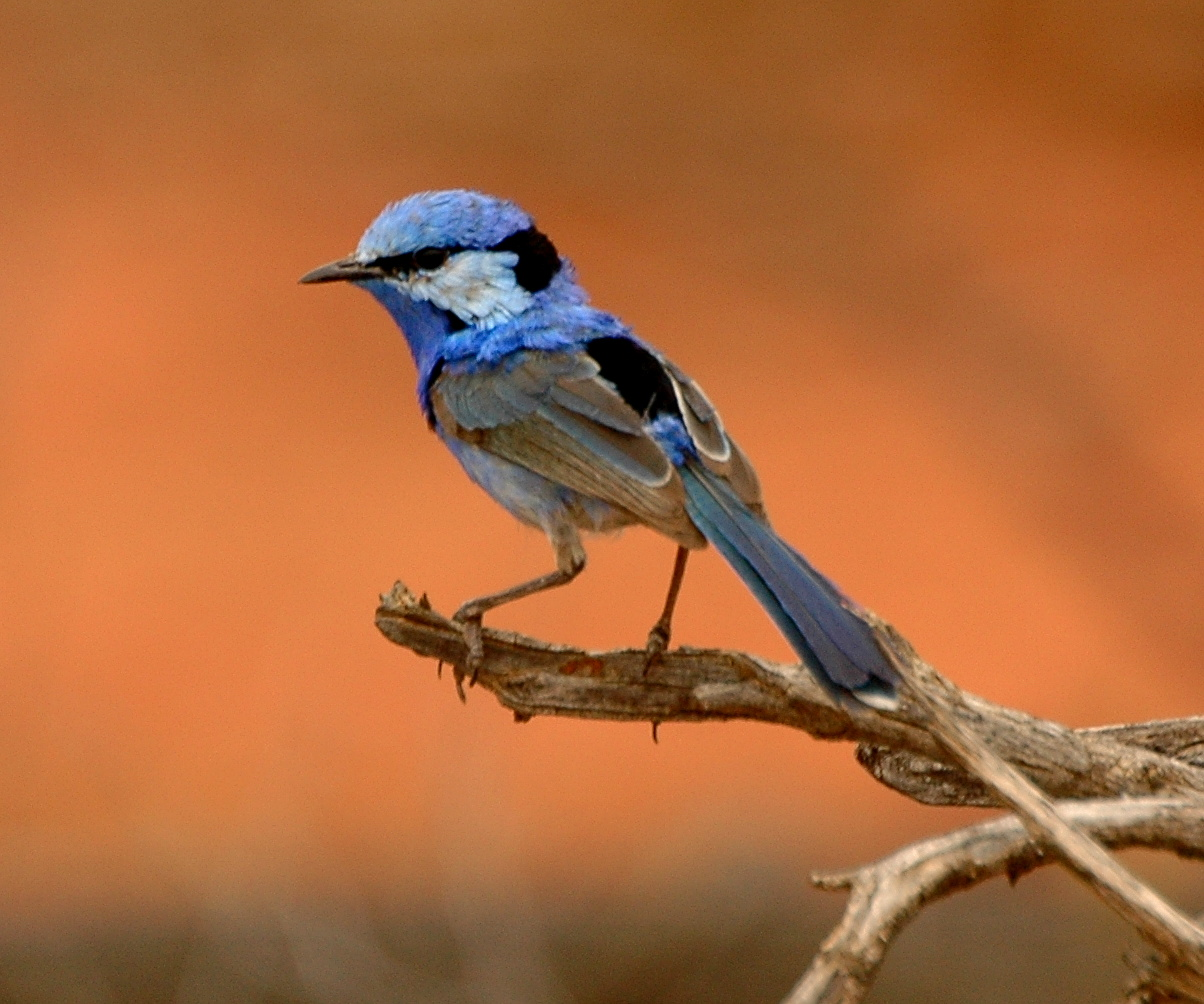 Cunnamulla Australia  City new picture : Splendid fairywren male cunnamulla Wikimedia Commons