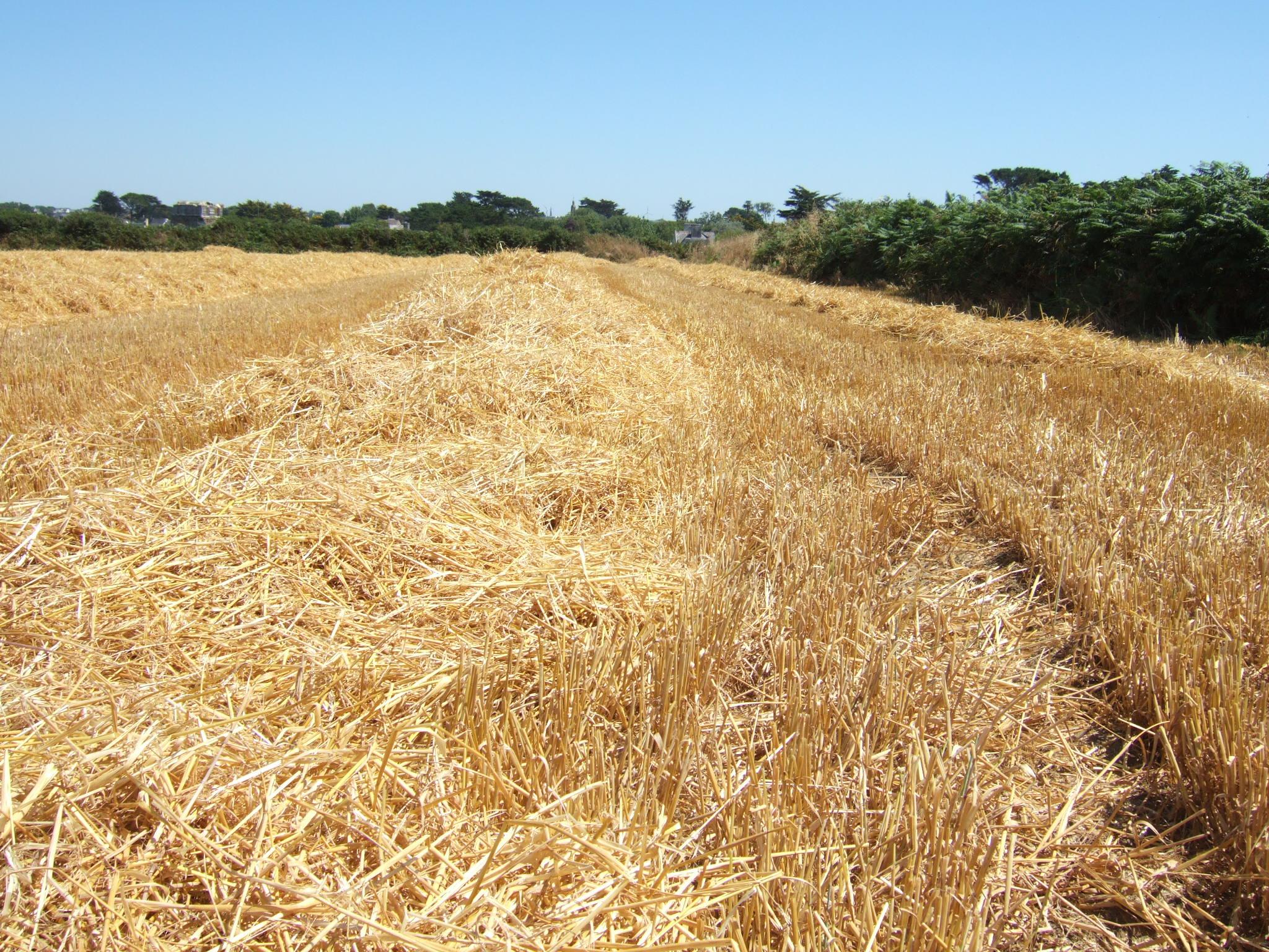 File:Straw field 1.jpg