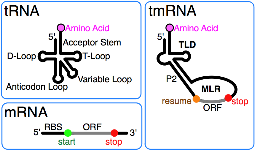 Transfer-messenger RNA - Wikipedia