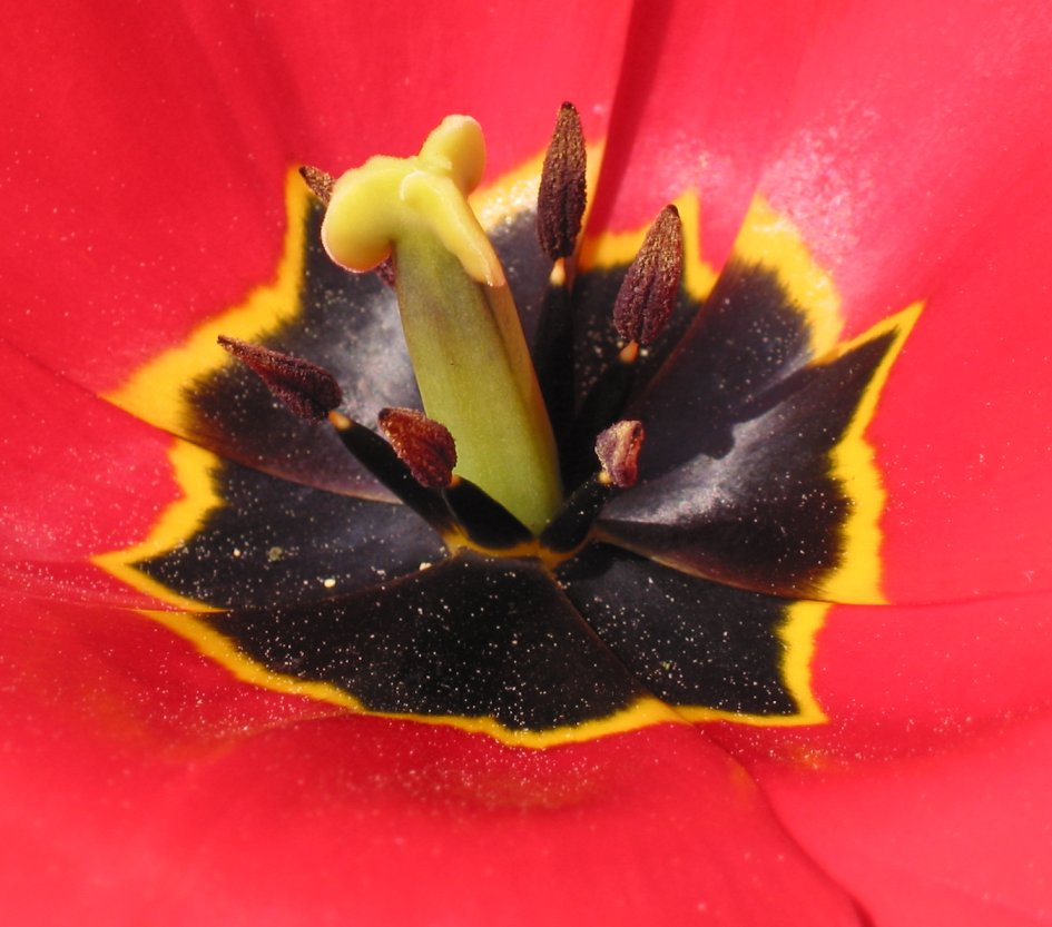 http://upload.wikimedia.org/wikipedia/commons/2/2c/Tulp_stempel_gelobd_behaard.jpg