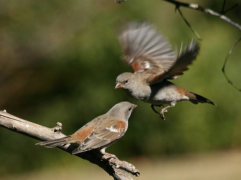 Two Southern Grey-headed Sparrows (Passer diffusus), one in flight