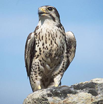 File:USGS Prairie Falcon.jpg - Wikipedia, the free encyclopedia