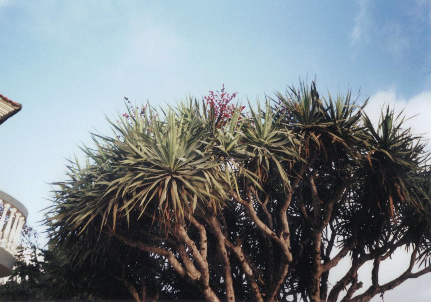dragontree