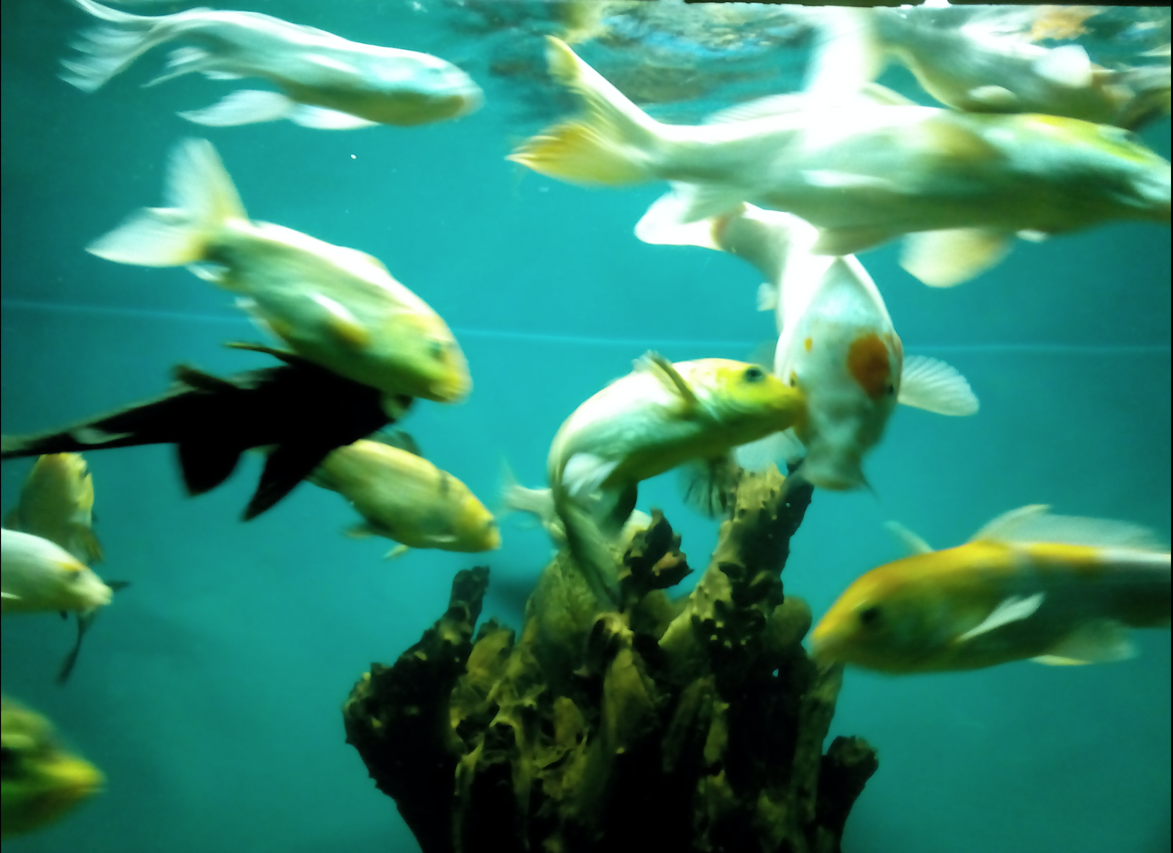 File:Yellow and white color fishes bangalore aquarium, india.png ...