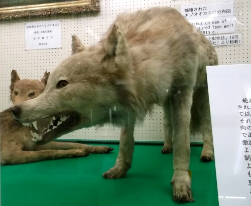 Yezo wolf at Hokkaido University