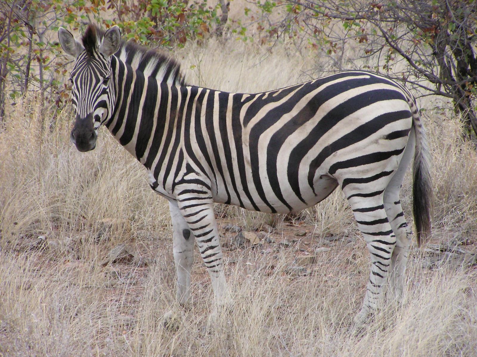 File:Zebra Kruger.jpg - Wikimedia Commons