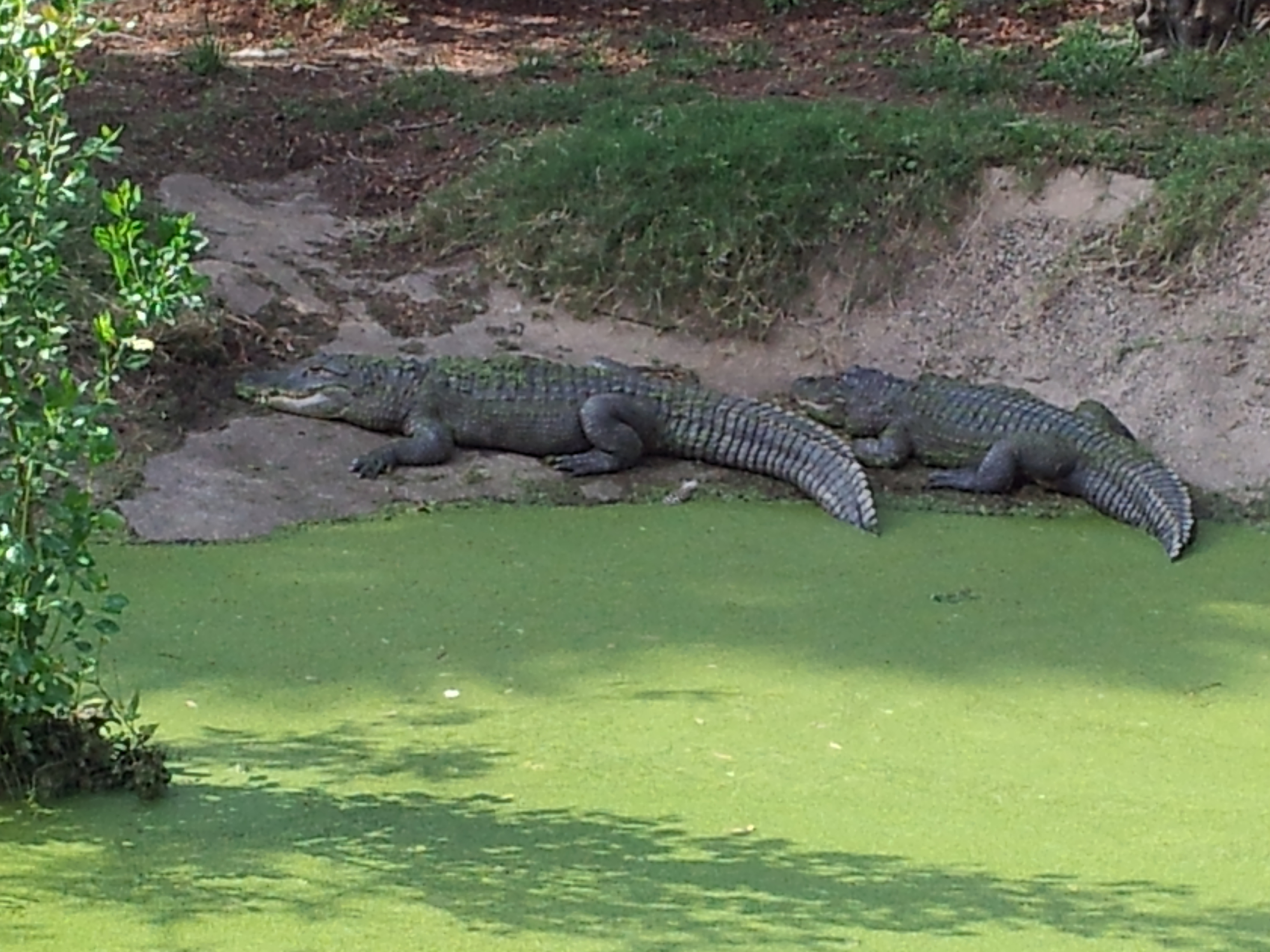 FileAmerican Alligators Alligator Mississippiensis At