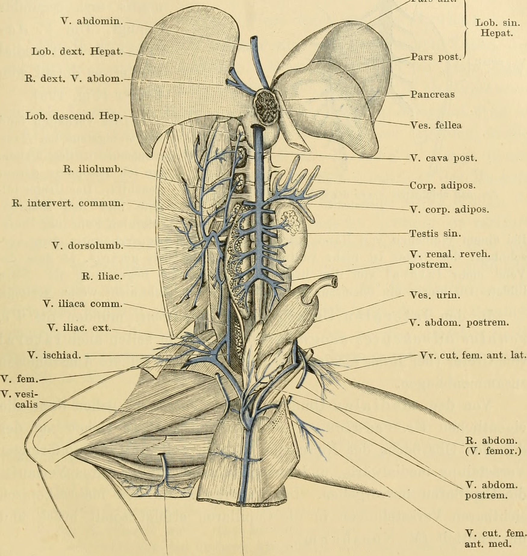 File:Anatomie des Frosches (1899) (18144751596).jpg - Wikimedia Commons