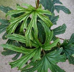 B. aconitifolia JV 250x242