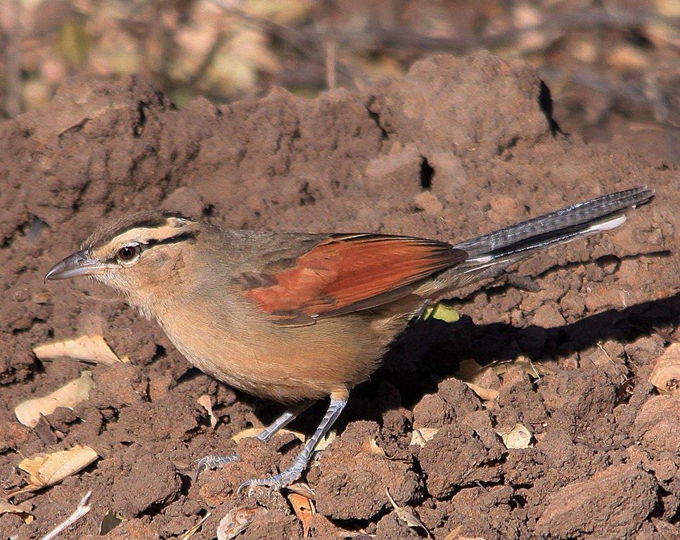 browncrowned tchagra wikipedia